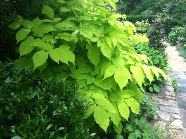 Sarah S On Twitter Aralia Cordata Sun King Fabulous