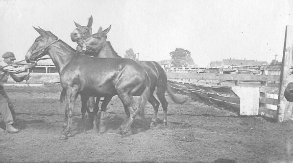 Photograph Album: Mules of WW1, assembled by Army Vetrinarian Dr. Breazeale #WW1archives http://t.co/E7dCpTjxl0 http://t.co/Fk11gSNOu2