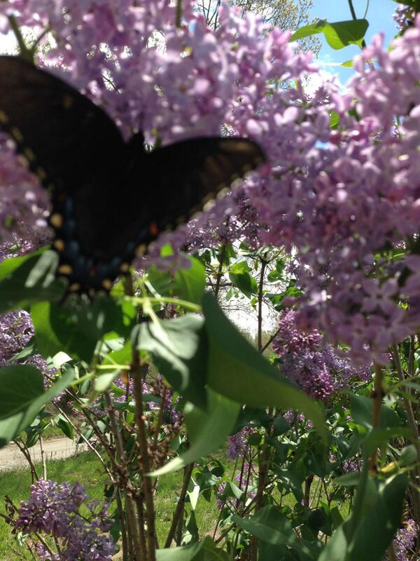 @CoronaTools @vintagefuchsia LUV to see #Kids #Gardening & #Butterflies It doesn't get better than that! #plantchat http://t.co/cn5ASKq9i6