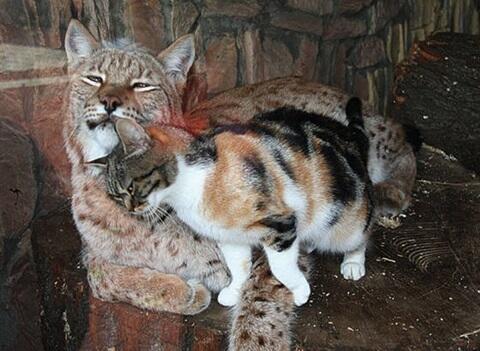 【通い妻】動物園のヤマネコの檻に侵入した野良ネコが大胆過ぎるwww news.2chblog.jp/archives/51795… pic.twitter.com/ySW5vlY1JU