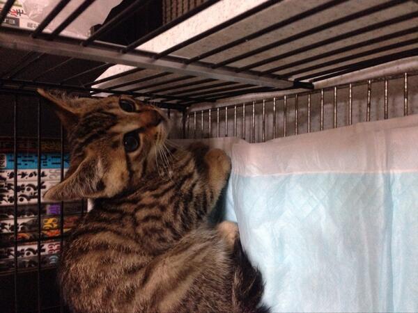 【迷い猫保護してます】6月12日東葛西6丁目で生後3、4ヶ月のキジトラ雄を保護しました。キレイでしたので最近脱走したのではと思います。人懐こく抱っこにも慣れておりカギ尻尾です。お心当たりのある方はご連絡ください#GTedo2014 http://t.co/KqiLZnaWzS