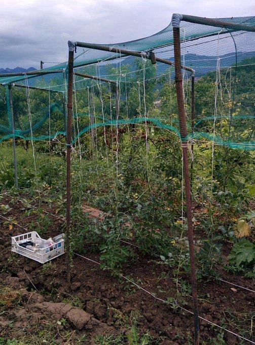 Rete per pomodori indeterminati orticoltura for Piantare pomodori