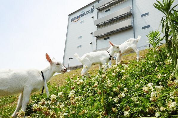 かわいい&うらやましい(笑) 【Amazonの物流センターに今年もヤギ導入、数は2倍に もぐもぐ除草がんばるぞ - ねとらぼ】 j.mp/1lLovg5 pic.twitter.com/TeZ9lBH1Ux