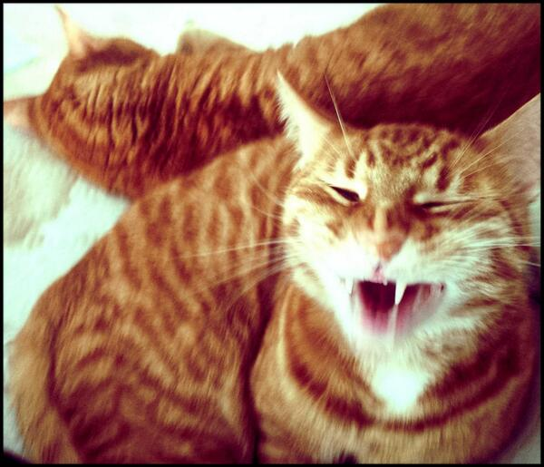 """We're merging!!! Mreow!"" #Tabby #Cats #Iggyboo #Mitosis http://t.co/3qgQzl3GGp"
