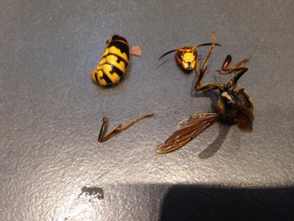 gigantic wasp monster in my bathroom finally its dead pics