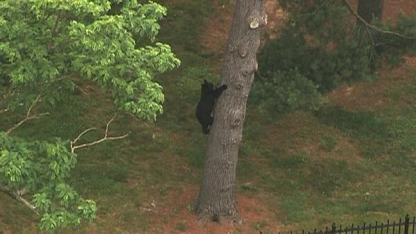 UPDATE: #NIHbear came down from the tree, ran into the woods, and we lost him. PHOTOS: http://t.co/tMjrfGvJiL http://t.co/8fKiA22YJh