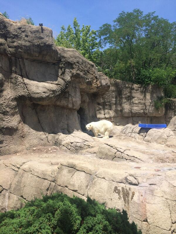Polar bear sighting at the @IndianapolisZoo #ISE14 http://t.co/yJs4uLwzJC