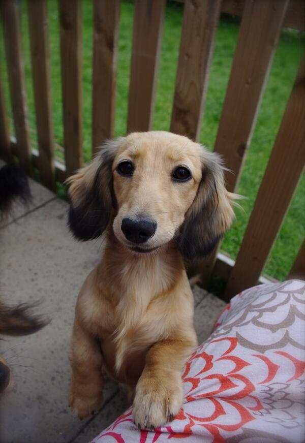@3daxs @fritziethedoxie @JoyHarpy: Please RT #HelpFindHattie blonde mini dachshund pup MISSING http://t.co/SXhcxAO7Qs http://t.co/zT2INLVPaQ