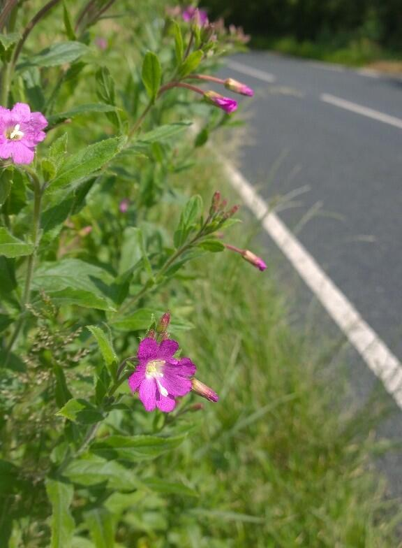 Pleased there is a beautiful patch of Great willowherb across the road from my house. #saynotothemow  @Love_plants  http://t.co/4Ld1sanifY