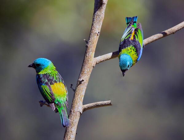 Green-headed Tanager , Saíra-sete-cores. by carlosvie http://t.co/vmjWbEKp6Z
