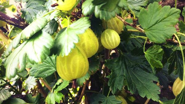 Uva spina di Ceylon ricca di antiossidanti