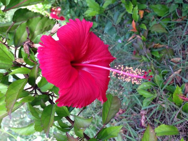 Phoebe Smith On Twitter The Hibiscus Flower Symbol Of Haiti