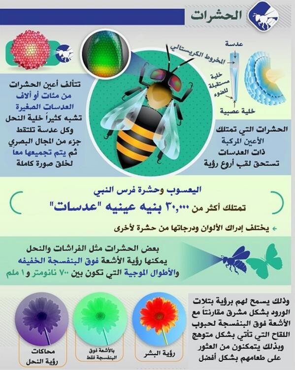 الحشرات BrGELSYCEAII09p.jpg