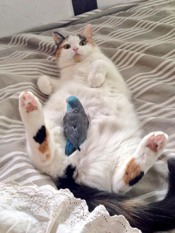 お昼寝タイム寝込みを襲われた猫(紅音)寝込みを襲った鳥(ピースケ) pic.twitter.com/FyIS4zVKV2