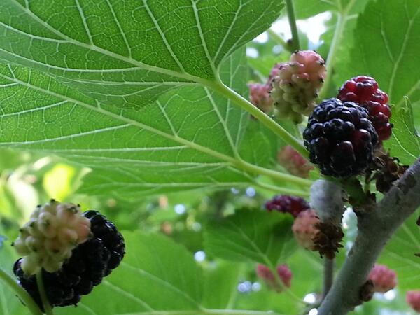 Mulberries for breakfast