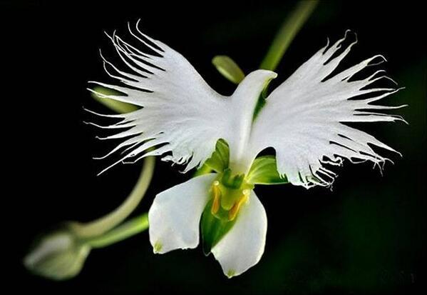 Resultado de imagen para orquideas paloma