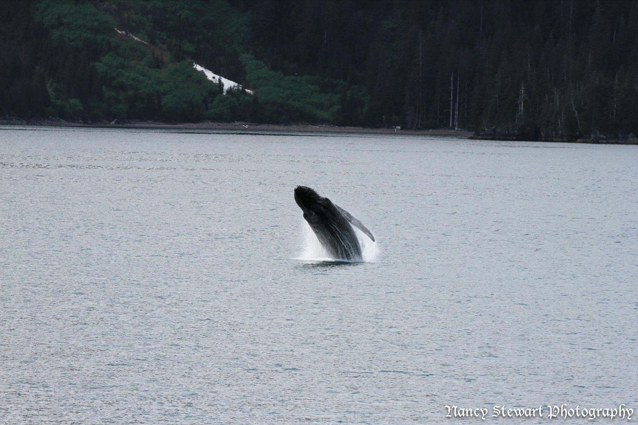 Twitter / Alaskachic907: Captured a hump back whale ...