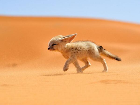 Very cute RT @SBNation: Extra time for Algeria means extra pictures of fennec foxes: http://t.co/SqTGT96Mu1
