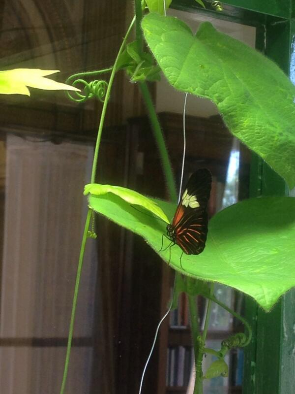 Good to see our erato is still happy this morning. Come and see tropical butterflies at #summerscience http://t.co/qwtM4uRlGu
