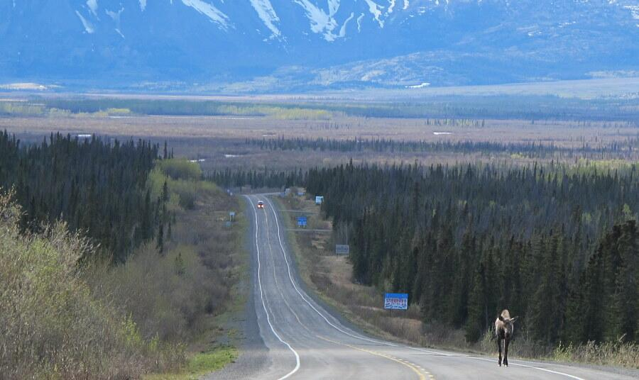 Happy Canada Day photo 12: Near Haines Junction, #Yukon. You knew I had to have one moose shot, right? #CanadaDay http://t.co/Ka5xCPYvQI