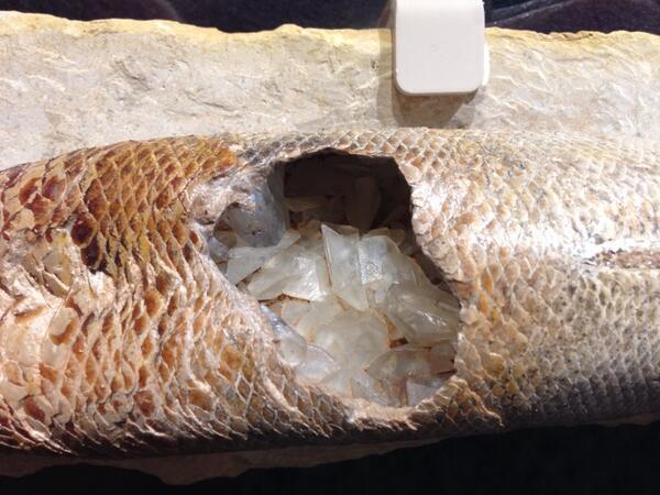 魚(ラコピレス)のお腹の中にできた方解石結晶(^-^)/ http://t.co/y0udjNxGVu