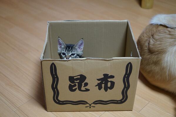 【一味ちゃん日記43】ちっちゃくっても、猫でつねー、一味ちゃん。やっぱり、箱が好き(ωvω)ニャー pic.twitter.com/nevXEffXSd