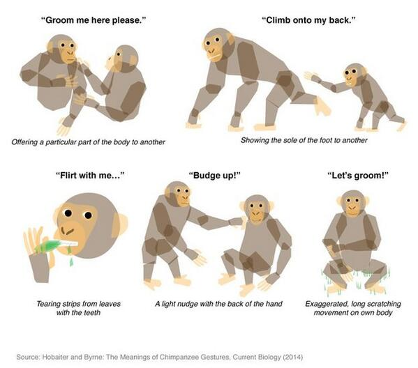 Scientists Translate the Meaning Behind Chimpanzee Gestures