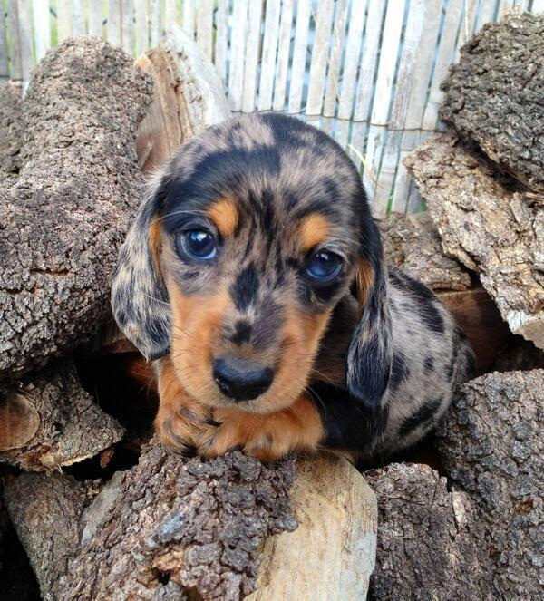 Cute Speckled Sausage Dog Puppy