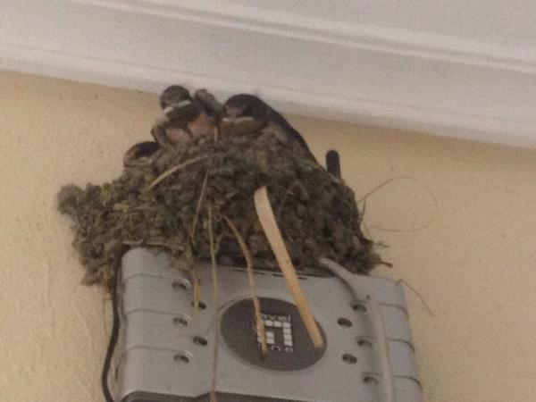 The bird's nest on our wifi has chicks! They're growing up fast. http://t.co/IHaddzTKBM