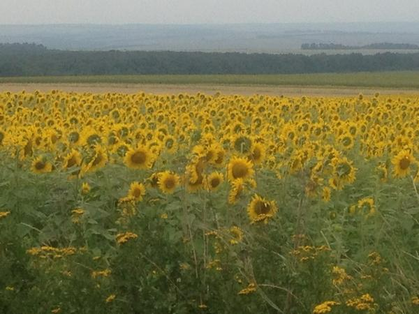 Next to the crash site, the most beautiful field of sunflowers swaying in the summer wind. #MH17 http://t.co/StMfzCFLzR