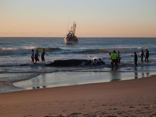 Fingers crossed for this beautiful baby.. It seems she is in good hands! #GoldCoast #whale http://t.co/FLQbLRVyLI http://t.co/NoflvOb9ig