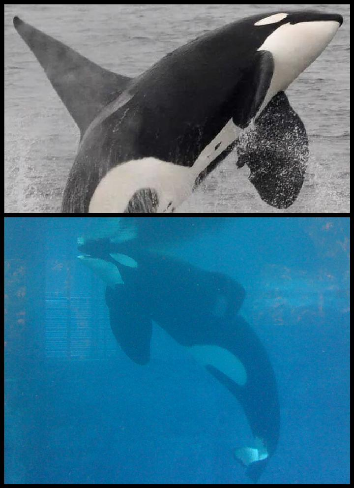 @OrcaSOS @TheOrcaProject @jeffrey_ventre how can anyone think this is ok? #Blackfish #EmptyTheTanks #Tweet4Tilikum http://t.co/Y4USSz3LrV