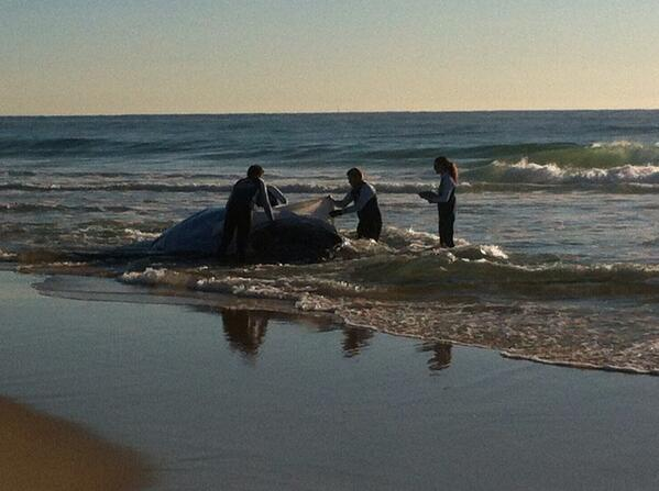 Stranded baby humpback whale Palm Beach Gold Coast. Tide going out. Not good http://t.co/Fv3ckH28sK