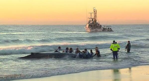 Sea world - Gold Coast authorities helping to rescue a humpback whale at Palm Beach #whale #rescue #marinelife 🐋🐋🐋 http://t.co/IyftqNDnRX