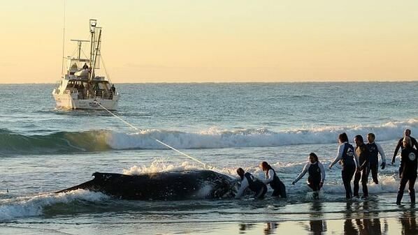 Baby Humpback Whale stranded on Palm Beach, Goldcoast. Sea world staff have called off the rescue due to low tide. http://t.co/OLHHIpEzJv