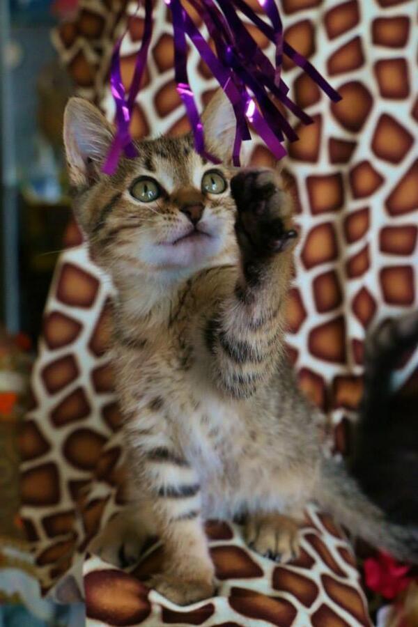samoa-caramel-kitten-webcam