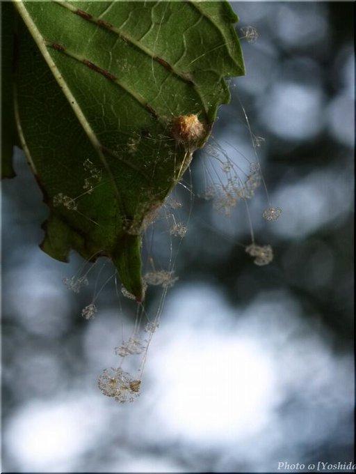 昆虫の死骸にだけ発生する超激レアのカビ「スポロディニエラ」がネットの投稿で発見される!