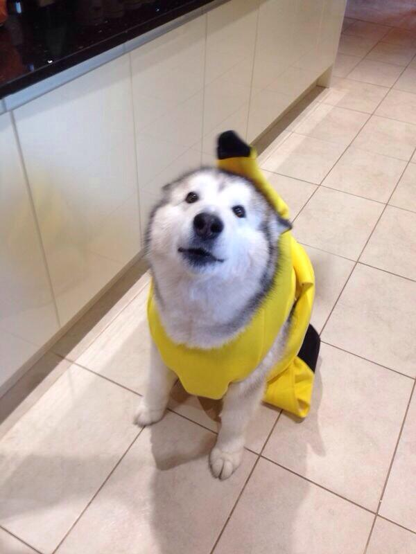 Baby Animal Pics on Twitter  Husky in a banana costume //t.co/sasFDh4K0Q  & Baby Animal Pics on Twitter: