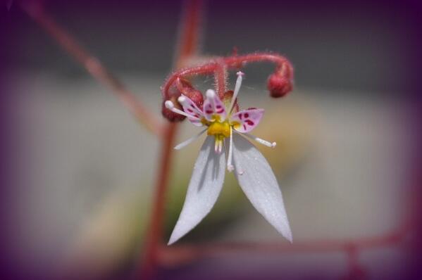 ユキノシタの花が咲きました。 http://t.co/k8gOhxfJbQ