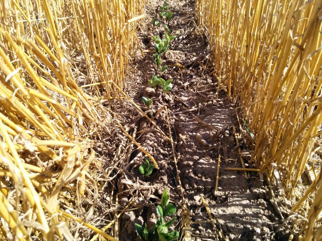 Twitter / thefarmerslife: Another double crop soybean ...