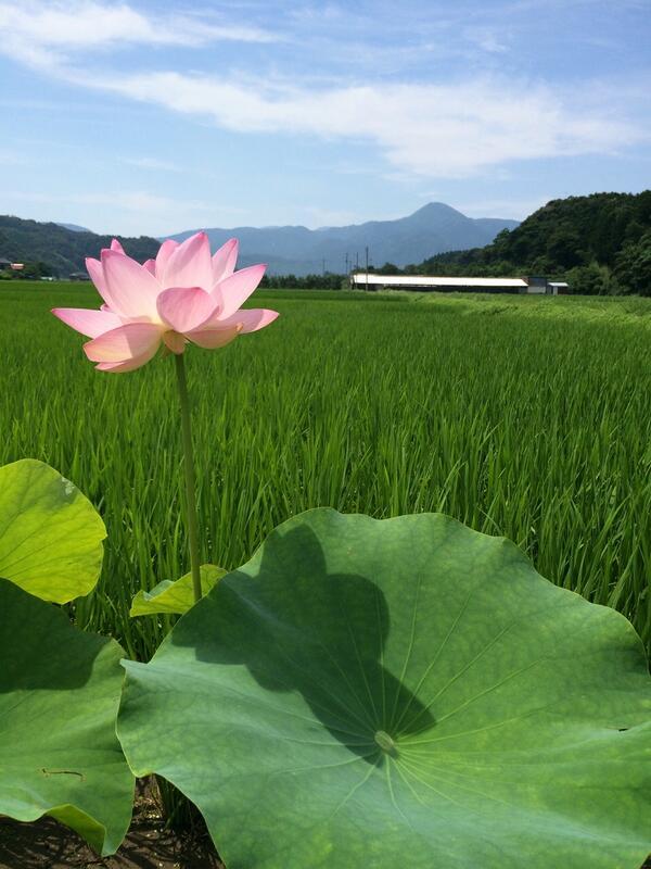 今日の鷲峰山。  蓮の花が綺麗に咲いていました。 http://t.co/bfnJ0QCVTs http://t.co/FKcahRxdBA