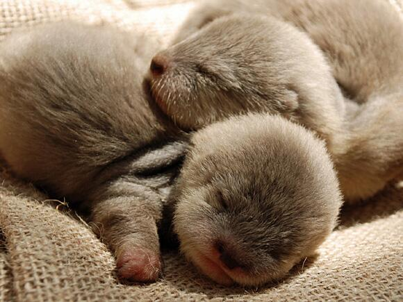 morning cuteness… RT @rejuvapet: Good Night Baby Otters... http://t.co/H7qNvoSmwX