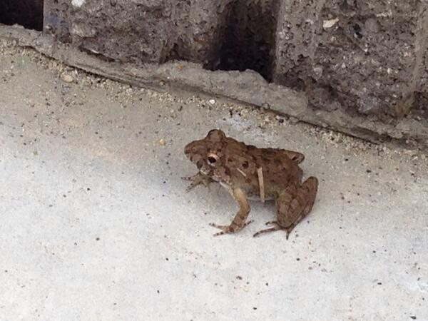 いま庭に出たらカエルみつけた(*・∀・*)  小さなカエルさん  このサイズのカエルさんが芝の上に何匹かいる(*・∀・*) http://t.co/6sIGk0Dc1w