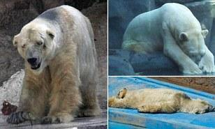 Please help Arturo the Polar Bear who's alone & baking in a zoo in Argentina. http://t.co/CvJXp0MckX http://t.co/6QZ5Gxw8ju