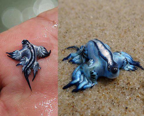 RT @lesxviezvous: Le dragon bleu (Glaucus atlanticus), l'un des mollusques les plus rares et les plus beau du monde. http://t.co/xC9WtBSoJF
