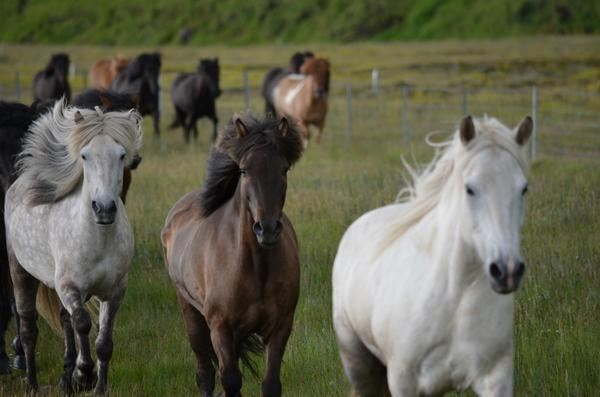A herd of horses sidelining me on the dirt track in the far reaches of Fljotshlid Valley, beneath Eyjafjallajokull. http://t.co/UGKM2QymbW