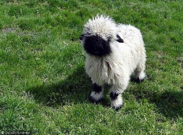 Um, these sheep are the most ADORABLE ever. http://t.co/Qw1myz5SUQ http://t.co/WQNmoP8c6E