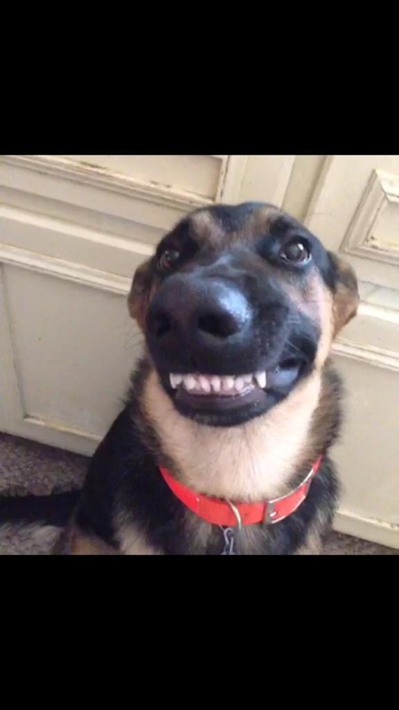 традиционные гифка собака смеется вашим