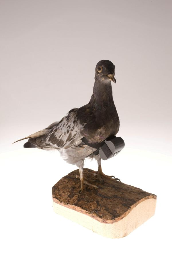 CIA #Museum Artifact of the Week: #Pigeon Camera #TBT http://t.co/WAb6Fc3F37 http://t.co/dntv9P7JBm