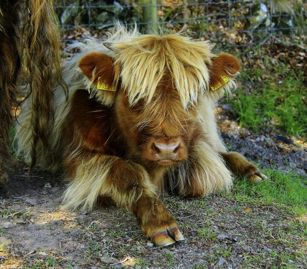 Possibly the best haircut, ever!  Highland calf on Exmoor #devonhour http://t.co/RB7g8oyKDU